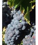 Vin de Corse Calvi