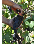 Vin de Corse Porto-Vecchio